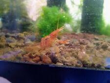 2x Orange CPO Dwarf Mexican Crayfish/Mini Lobster (Cambarellus patzcuarensis)