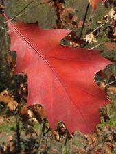 5 x  Northern Red Oak Quercus rubra bonsai starter trees