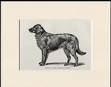 FLAT COATED RETRIEVER RARE NAMED ANTIQUE 1900 DOG PRINT MOUNTED READY TO FRAME