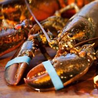 SEALED Live Maine Cold Water Lobster 6-Count 1.25 Lb Each, SHIP NEXT DAY AIR