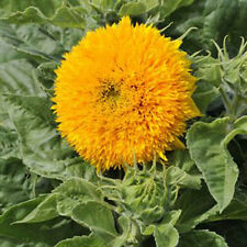Kings Seeds - Sunflower Sungold - 50 Seeds