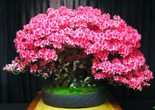 Chinese REDBUD / Judas tree 60 BONSAI SEEDS - Cercis chinensis