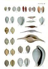 Impresión Lámina de 19 Concha Pacific Eratonidae Ovulidae Volva Pustularia