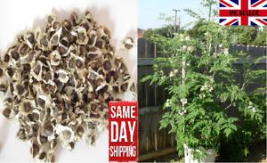 "Moringa Oleifera ""Drumstick tree"" - 30 fresh seeds for sowing. Same Day Dispatch"