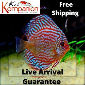 1/2/3X Super Red Turqouise Discus Aquarium Koi Kompanion Free 1 Day Shipping