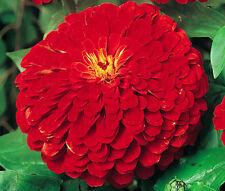 Zinnia Cherry Queen Zinnia Elegans - 1,000 Bulk Seeds