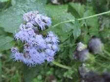 5 PLANTS BLUE HORIZON AGERATUM, BLUE MINK,HOUSTONIANUM -5 plants perennial blue