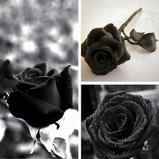 100Pcs Mysterious Black Rose Flower Plant Seeds Garden Beautiful Black Rose Seed