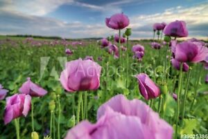 "Papaver somniferum.   ""Afghanistan  Poppy"""