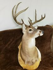 10 Point Whitetail Deer Head Taxidermy Shoulder Mount