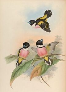 John Gould Native  Birds print tree owl asia painting Vintage Old Australia art
