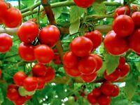 Tomato seed Russia Apple vegetable seeds from Ukraine