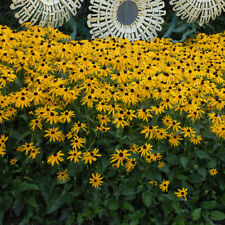 3 Super healthy Plants Rudbeckia fulgida 'Goldsturm' Black Eyed Susan