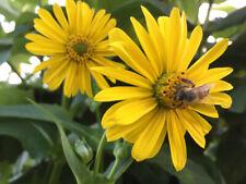 100 Samen durchwachsene Silphie Bienenweide Silphium perfoliatum Bienen Tracht