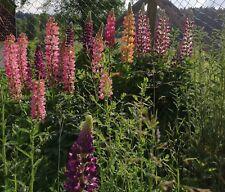 Die Lupine stammt aus Nordamerika eine farbenfrohe Blume für jeden Garten.