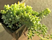 "Sedum burrito – Burro's Tail, Baby Donkey Tail, 2 cuttings 4 - 6"" in length each"