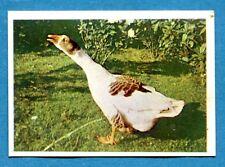 Figurina Panini-ANIMALI DI TUTTO IL MONDO 1965-n.223 - OCA -rec