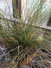 Blue Fescue Ornamental Dwarf Grass Perennial Plants Clump 4-inch pot