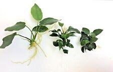 3 Live Aquarium Aquatic Plants SMALL ANUBIAS SELECTION nana bonsai petite wood