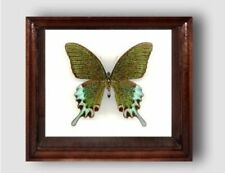 Papilio hermeli (chi) male in the frame of expensive breed of real wood.