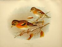 1907 Antico Uccello Stampa ~ Brambling
