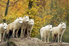 Framed Print - Pack of White Wolves (Picture Poster Wolf Animal Art Hunting)
