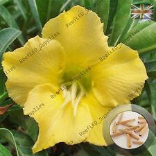 """""""Sunshine"""" Adenium Obesum Desert Rose 5 Seeds, Fresh Viable, UK Supply"""