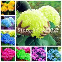 100 PCS Seeds Rainbow Hydrangea Bonsai Rare Flowers Plants Courtyard Perennial N