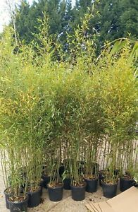 Aurea Yellow Stem 12L Approx 6-7ft  potted Bamboo fast growing screening bamboo
