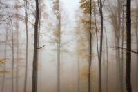 Misty Beech Tree Forest Autumn Landscape Photo inch Poster 24x36 inch