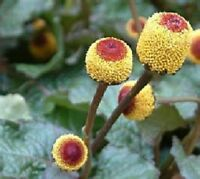 250 Toothache Plant Seeds (Spilanthes Oleracea) Herb Seeds