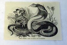 1882 magazine engraving ~ Combat Between A Cobra De Capello & And Inchneumon