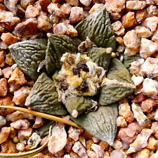 5 Ariocarpus retusus x fissuratus SEMI SEEDS KORN SAMEN CACTUS KAKTEEN