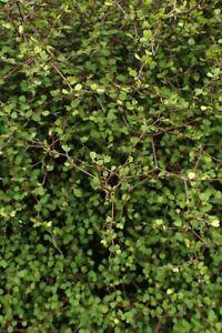 Muehlenbeckia astonii Wiggy-wig bush Young Plant 9cm Pot x 3 Plants/ Pots