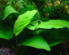 Anubias Nana - Live Aquarium Plants Java Moss Fresh Tropical Rotala Aquascape