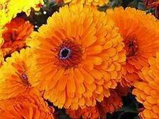 Calendula Pot Marigold- Orange- 50 Seeds - 50 % off sale