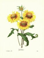 Redoute Yellow Sunflower Botanical Print Vintage Yellow Flower Art pjr 3798-44
