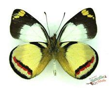 papillon blanc Delias bothwelli ENSEMBLE x1 États-Unis Pieridae Papouasie Guinée
