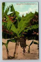 Banana Tree Showing Bud And Fruit, Vintage Postcard