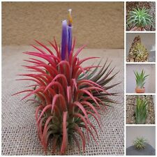 Tillandsia Ionantha Assorted 5 Pack FREE SHIPPING