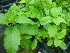 "Mojito Mint Plant Live Not Seeds Each 4""-6"" Tall In 3'Pot Mentha x Villosa New"