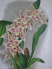 Linden Lindenia Large Print Orchid Odontoglossum Bleichroederianum - 1888