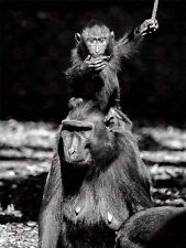 PHOTO CUTE BABY MONKEY HITCHING RIDE FROM MUM LARGE ART PRINT POSTER LF1680
