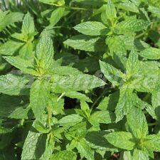 500 Samen Grüne Minze – Mentha viridis, mehrjährig