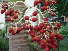 Adonidia. Veitchia merrilli.  Adonidia palm seeds. Fresh and Viable. 2018