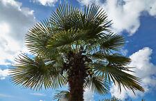 Trachycarpus fortunei TAYLOR FORM HARDY Seeds!