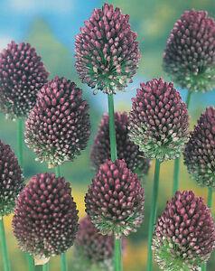25, 50 oder 100 Allium Sphaerocephalon Zierlauch Blumenzwiebeln