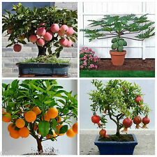 Bonsai Fruit Seeds - Pomegranate Orange Apple Papaya Combo Pack #1 Indoor Bonsai