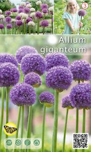Nr. 281- Zierlauch 'Allium Giganteum', große Zwiebeln Gr.18+, 5 Blumenzwiebeln
