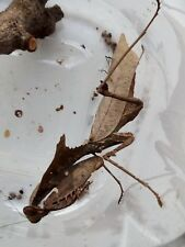 Praying mantis, Dead Leaf Mantis (Deroplatys dessicata) nymphs L3/L4